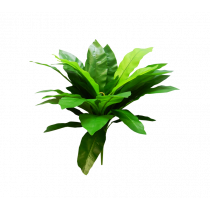 Bird Nest Fern 36lvs