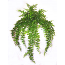 Hanging Bakers Fern x 23