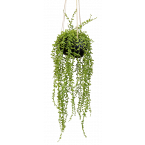 S2757Grn String of Beads in Ceramic Hanging Pot Senecio rowleyanus
