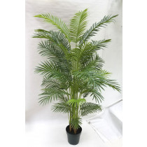 S2764Grn Areca Golden Cane Palm  214cm in a Pot
