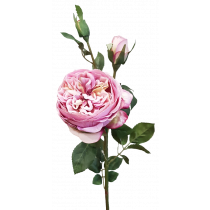 65cm David Austin Rose Spray 1F 2 B