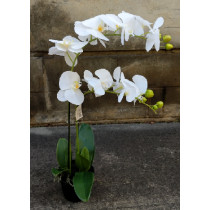 Potted Phalaenopsis  x 2